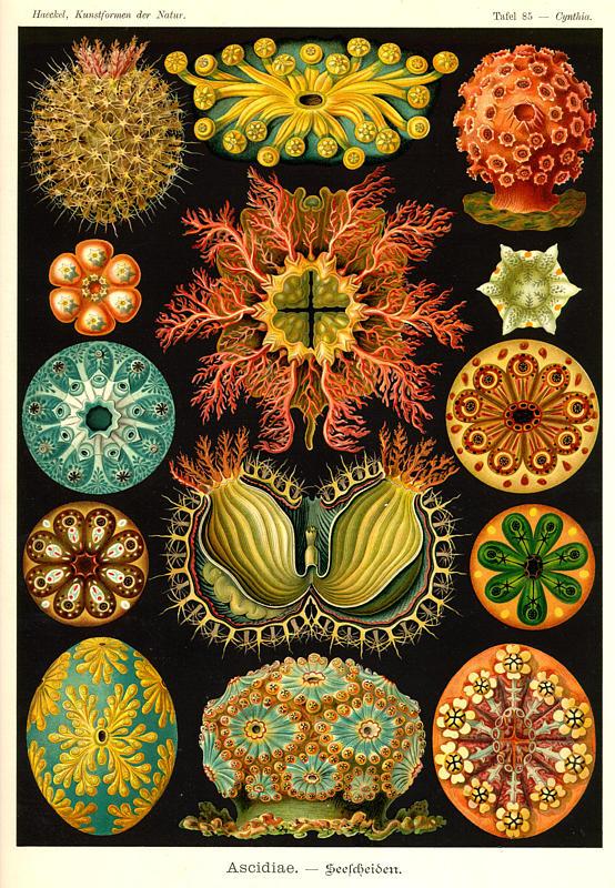 Ernst Haeckel « SheWalksSoftly