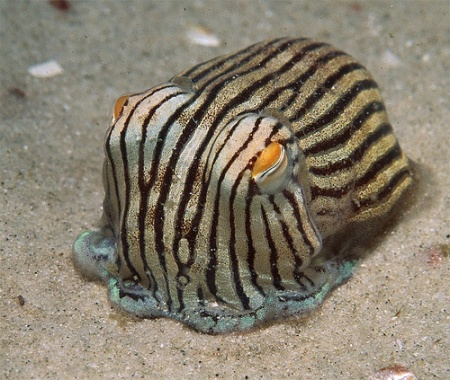 Sepioloidea lineolata. striped pyjama squid