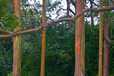 eucalyptus_deglupta
