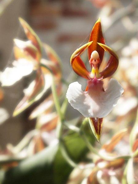 flowers-look-like-animals-people-monkeys-orchids-pareidolia-36