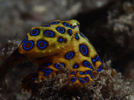blue-ringed_octopus