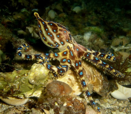 lesser_blue-lined_octopus
