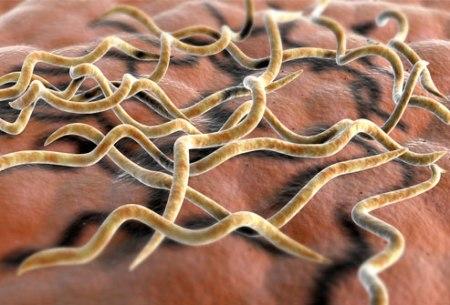 lyme-disease-bacteria