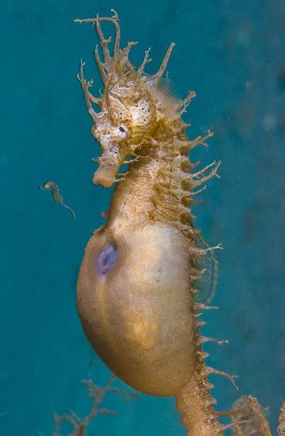 seahorse top